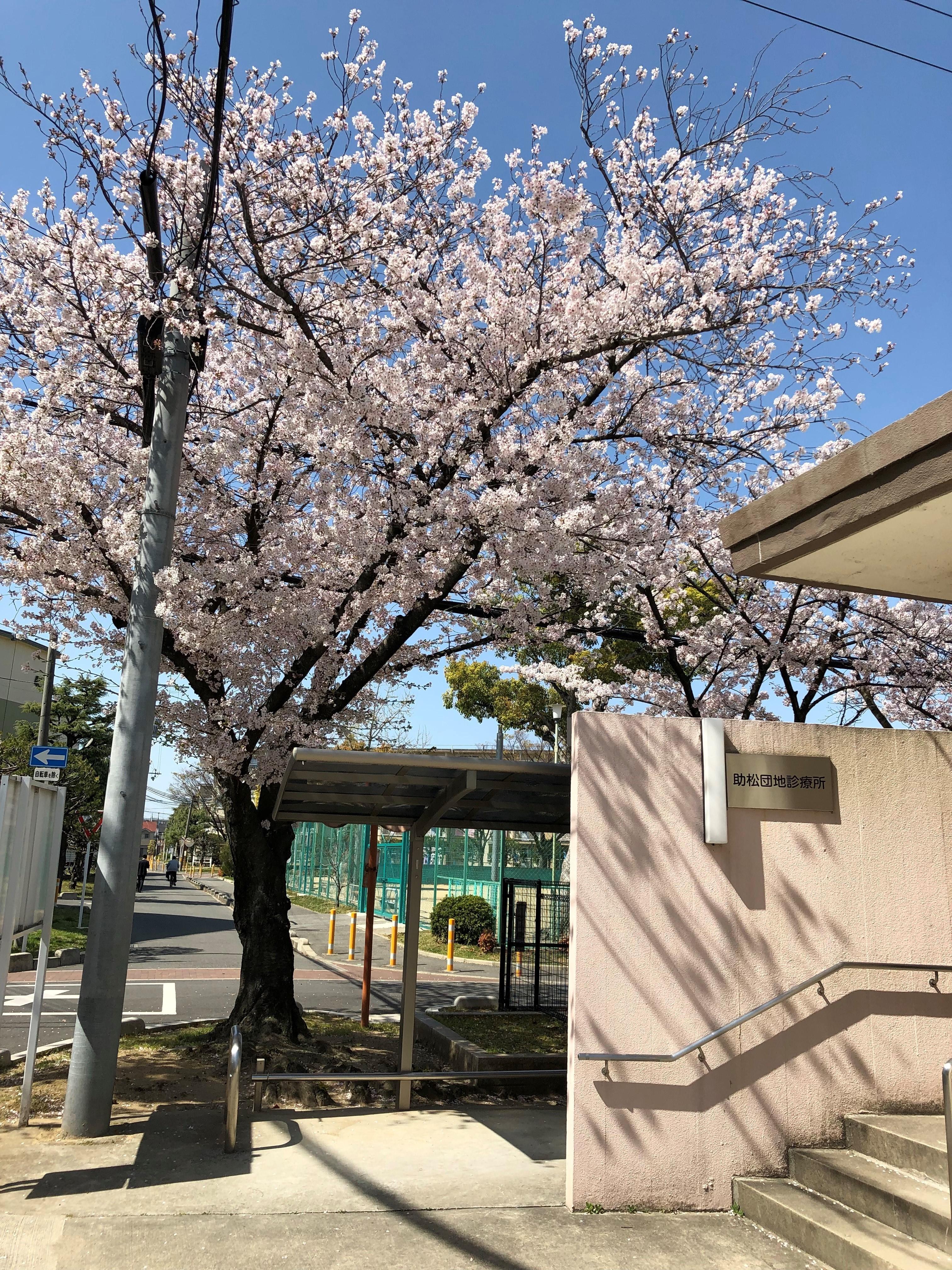 助松団地診療所の桜